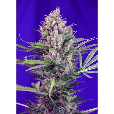buy cannabis seeds Cream Mandarine Fast V