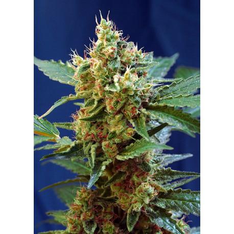 buy cannabis seeds Cream Mandarine XL Auto