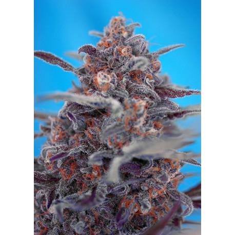 buy cannabis seeds Devil Cream Auto