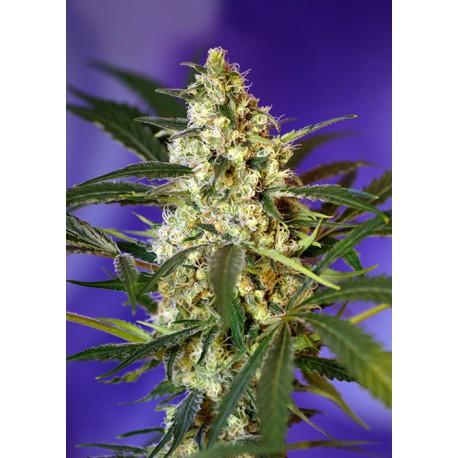 buy cannabis seeds Fast Bud #2 Auto
