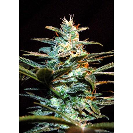 buy cannabis seeds Ice Cool