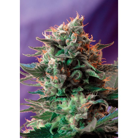 buy cannabis seeds Jack 47