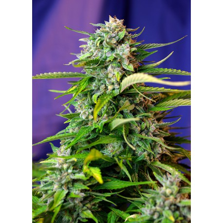 buy cannabis seeds Jack 47 Auto