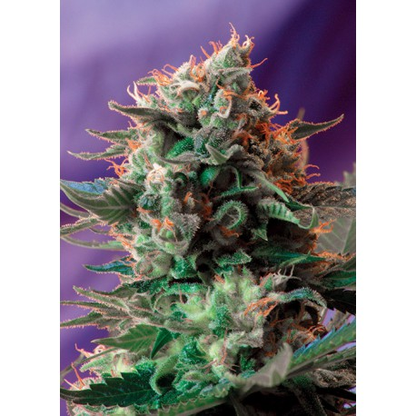 buy cannabis seeds Jack 47 Fast V