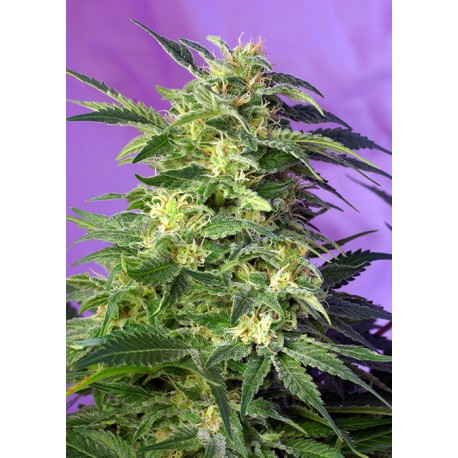 buy cannabis seeds Killer Kush Auto