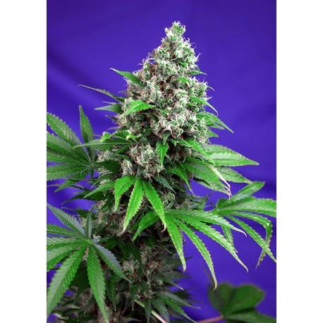 buy cannabis seeds Killer Kush Fast V