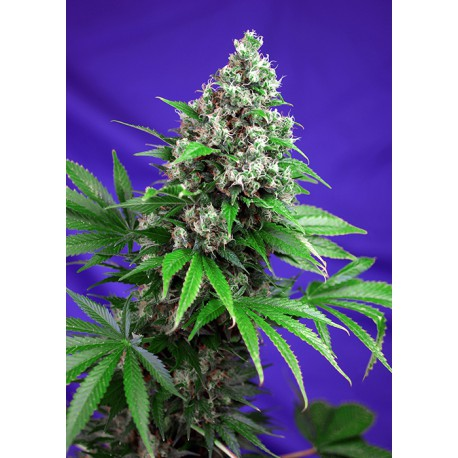 buy cannabis seeds Killer Kush Fast V