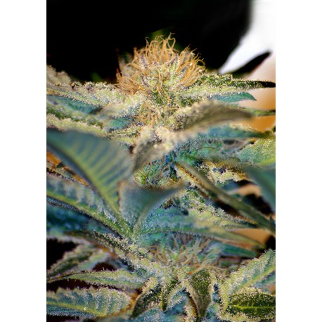 buy cannabis seeds Mohan Ram