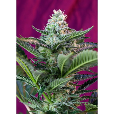 buy cannabis seeds Moham Ram Auto