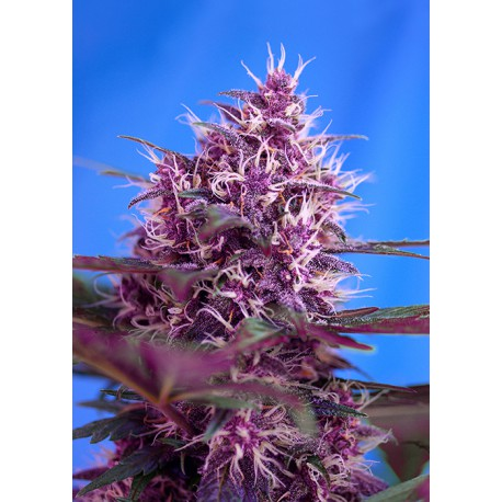 buy cannabis seeds Red Poison Auto