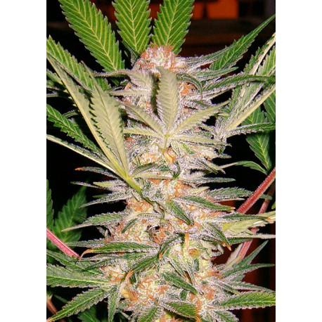 buy cannabis seeds S.A.D.