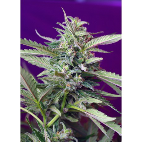 buy cannabis seeds S.A.D. Auto