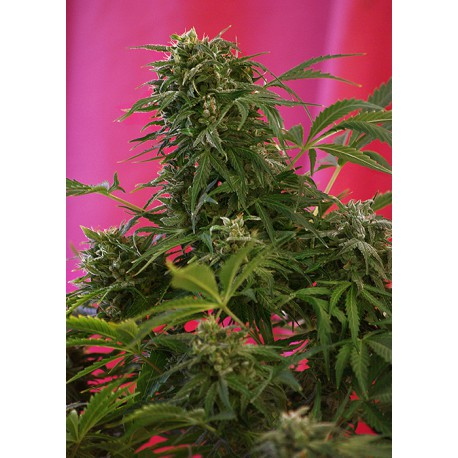 buy cannabis seeds Snow Fruit