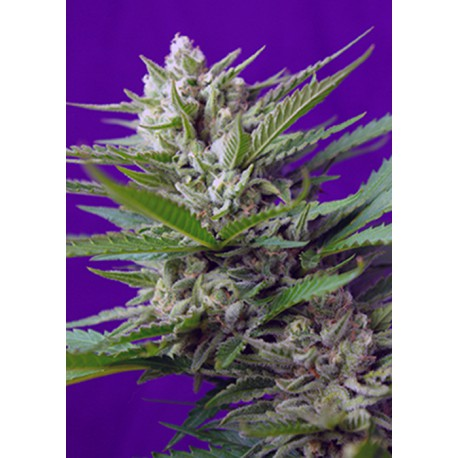 buy cannabis seeds Speed Devil Auto