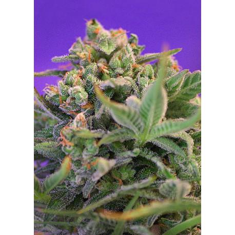 buy cannabis seeds Sweet Cheese