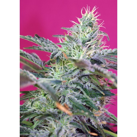 buy cannabis seeds Sweet Cheese Auto