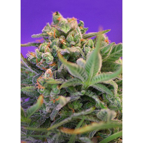 buy cannabis seeds Sweet Cheese Fast V