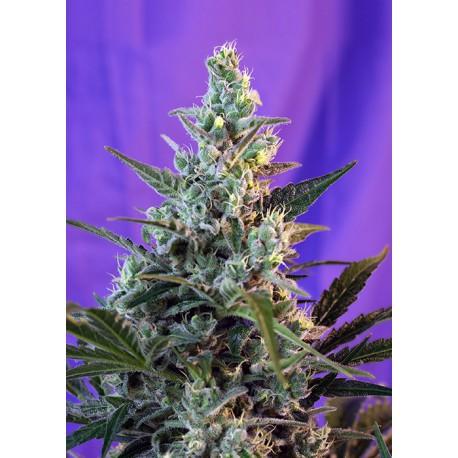 buy cannabis seeds Sweet Skunk Auto