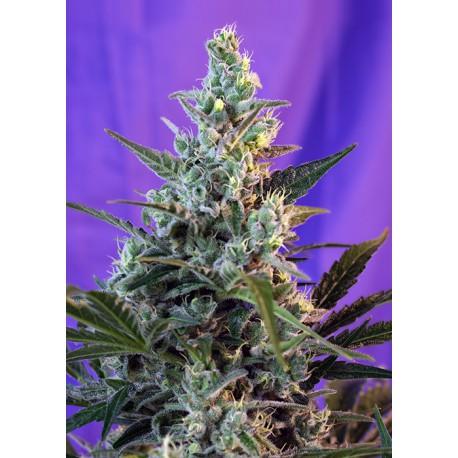 buy cannabis seeds Sweet Skunk Fast V