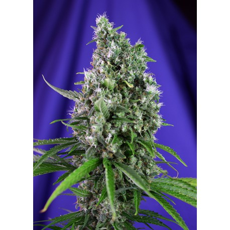 buy cannabis seeds Sweet Trainwreck Auto