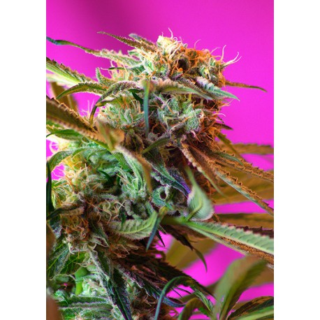 buy cannabis seeds Wild Rose