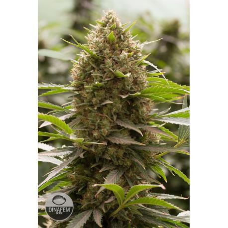 buy cannabis seeds Amnesia Kush
