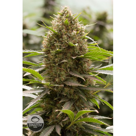 buy cannabis seeds Amnesia Kush