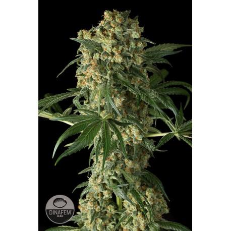 buy cannabis seeds Big Kush
