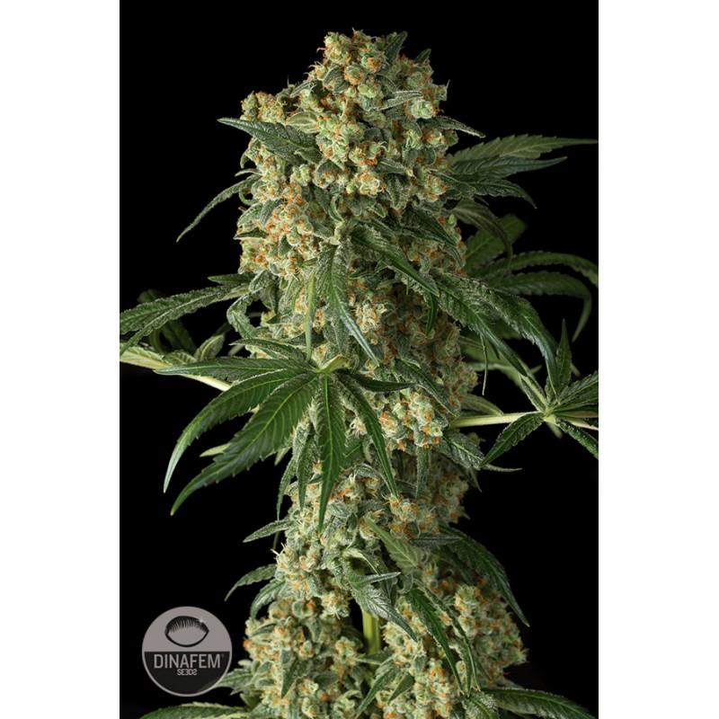 Есть семена конопляные во сне фото марихуана как выглядит