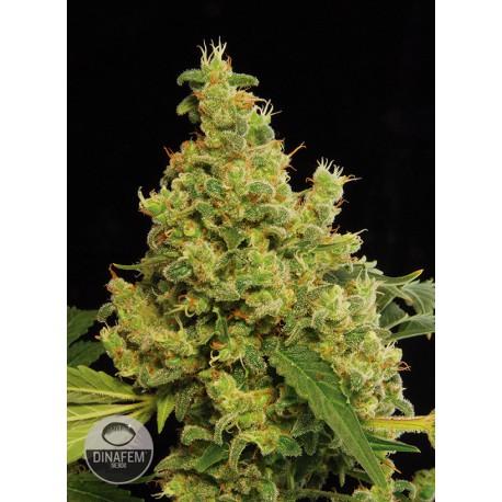 buy cannabis seeds Blue Hash