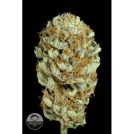 buy cannabis seeds Blue Kush