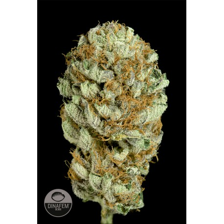 buy cannabis seeds Blue Kush
