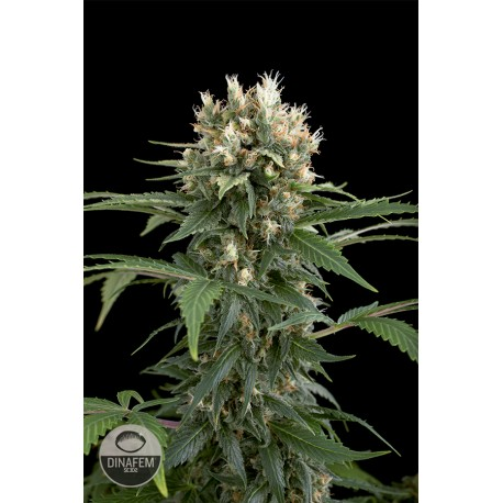 buy cannabis seeds Blue Thai