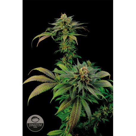 buy cannabis seeds Blue Widow