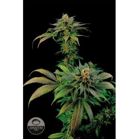 buy cannabis seeds Blue Widow