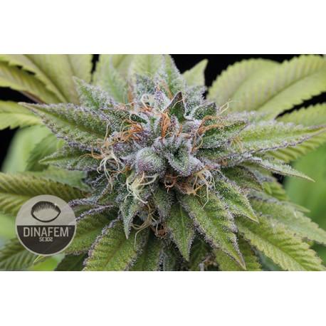 buy cannabis seeds Bubba Kush