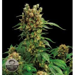 Cali Hash Plant
