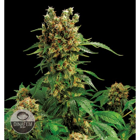 buy cannabis seeds Cali Hash Plant