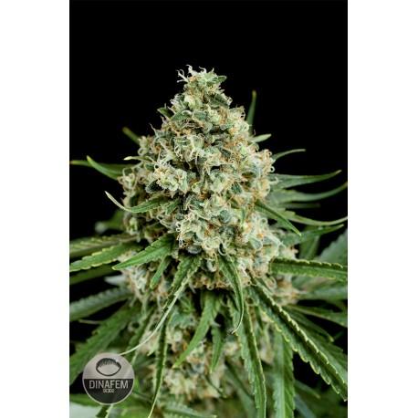 buy cannabis seeds Critical + 2.0