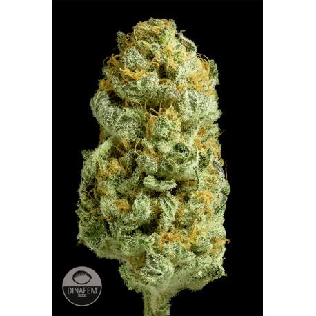 buy cannabis seeds Critical Cheese