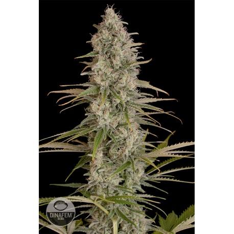 buy cannabis seeds Critical Jack