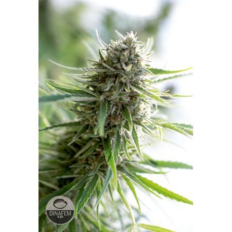 buy cannabis seeds Critical Mass CBD