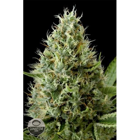 buy cannabis seeds Dinamex