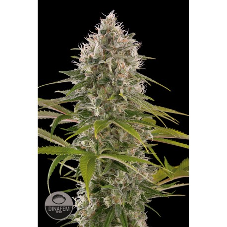 buy cannabis seeds Industrial Plant