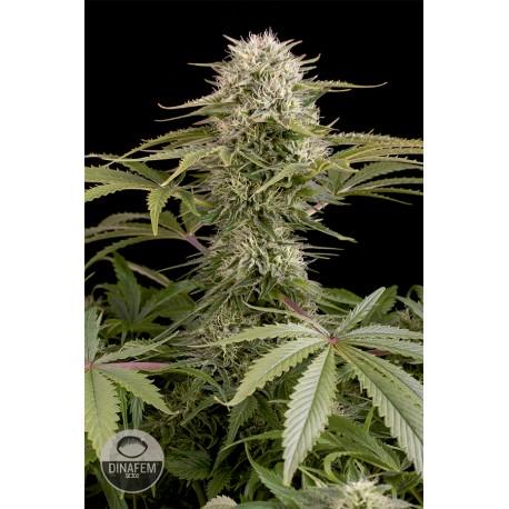 buy cannabis seeds Kush n Cheese