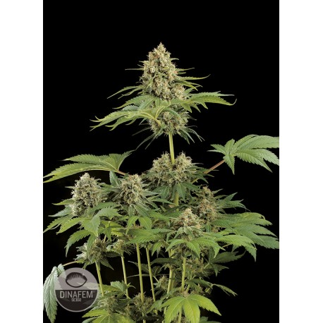 buy cannabis seeds Moby Dick