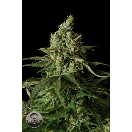 buy cannabis seeds Moby Dick CBD