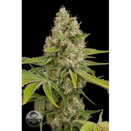 buy cannabis seeds OG Kush