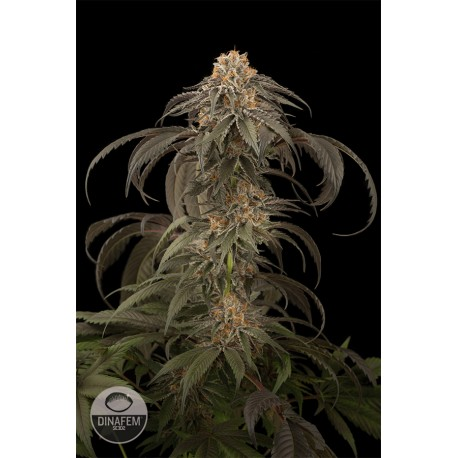 buy cannabis seeds Purple Afghan Kush