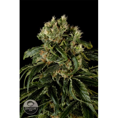 buy cannabis seeds Santa Sativa